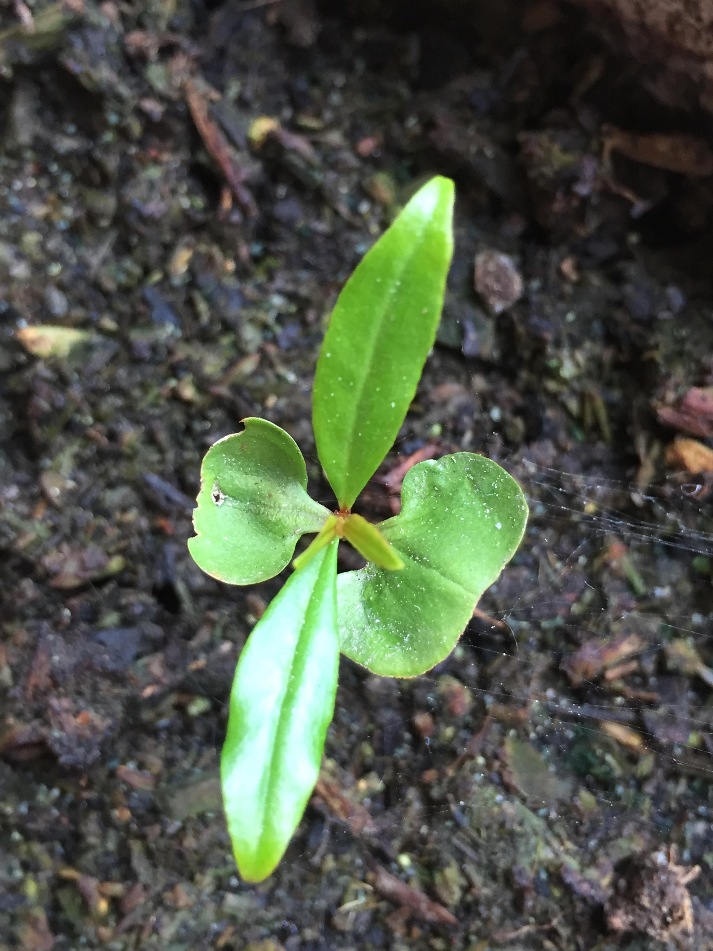 image of pomegranate seedling